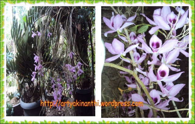 anggrek ungu / purple orchid flower