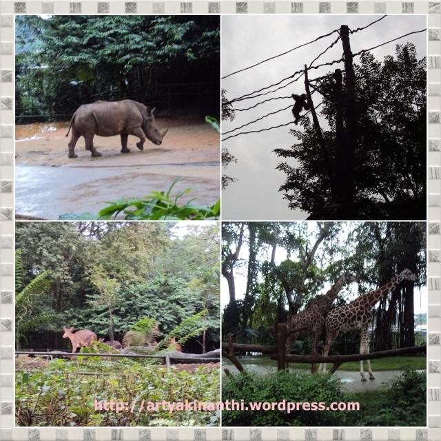 Badak (Rhinocheros), Orang utan, Rusa, dan Jerapah di Singapore Zoo