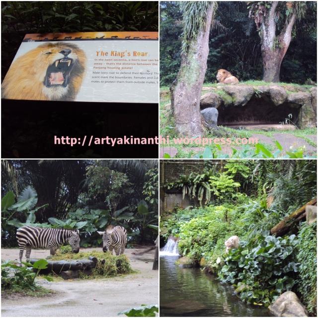Lion, Giraffe, Zebra, and Tiger at Singapore Zoo