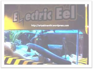 belut listrik