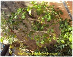 Cabe tanaman utinya kinan yang sering berbuah lebat