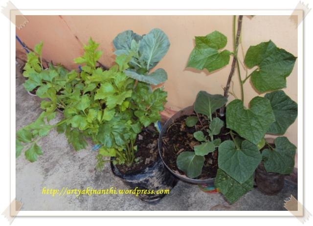 Daun sop atau seledri tanaman Utinya kinan