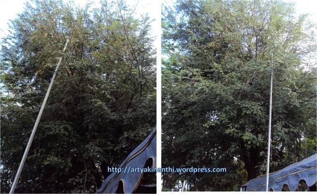 Pohon asem jawa